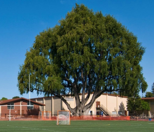 Saint Francis High School  Athletics - Bay Tree